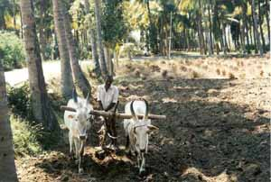 A local farmer uses bullocks to plough his field.