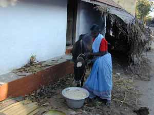 Feeding the family cow.