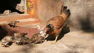Alemelu's house and yard is over run with chicks.