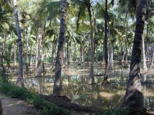 Coconut trees are watered by irrigation channels.