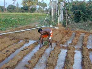 Babu begins planting crops in his irrigated field.