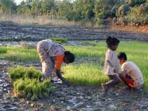 Family and friends help to plant the paddy.
