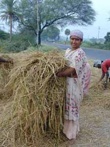 Rice stalks, after having been threshed are used for animal fodder.