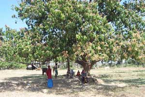 Land with a beautiful Mango tree in the centre was purchased for the new factory.